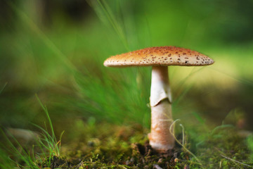 amanita rubescens mushroom, the blusher