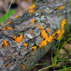 Calocera furcata fungus