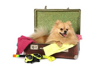 Pomeranian dog lying in the suitcase
