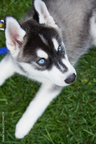 Puppy Siberian Husky Black And White With Blue Eyes Outdoors On