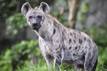 Zelfklevend Fotobehang Hyena Spotted hyena (Crocuta crocuta), also known as the laughing hyena close up side view animal wildlife.