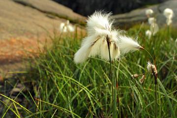 Cotton grass flowers, Norway