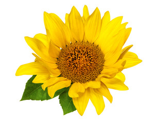 flower and leaves of bright yellow sunflower isolated on white background