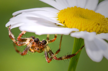 Spider sitting on a daisy petals