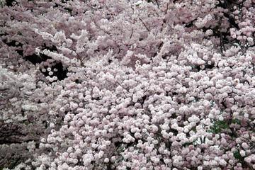 Prunus Yedoensis Akebono
