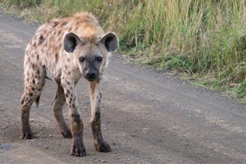 Hyena on Kruger NP, South Africa