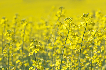 Rapeseed field, Blooming canola flowers. Flowering Bright Yellow Rape in summer.