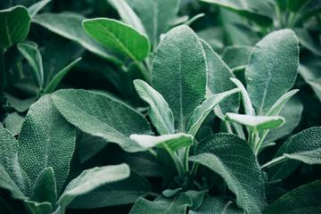 Fototapeta Salvia officinalis with velvety leaves, close-up. obraz