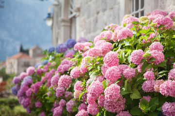Fotomurales - Blooming flowers hydrangea are pink, blue, lilac, violet, purple in spring and summer at sunset in town garden.