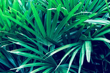 Dark green palm leaves  in the filter color effect