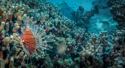 Coral reefs in Tanzania with lion fish