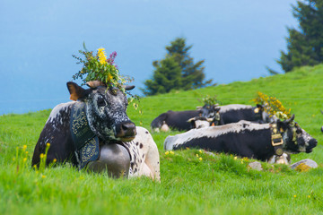 cows in european alps with huge bell - bavaria  Wall mural