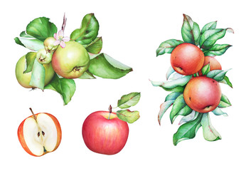 Watercolor hand drawn apple tree branches with apples and leaves
