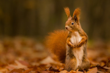 Cute squirrel in autumn colored forest. Beautiful, fast and clever animal.