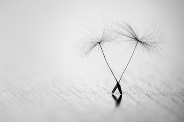 Fototapeta Detailed shot of blow away dandelion seed. Amazing natural creation. Black and white. Monochrome. Close up.