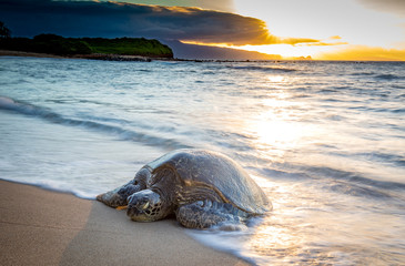Turtle coming up on the beach at sunset