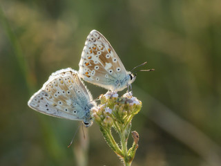 Wild Butterfly Macro in Summer Germany