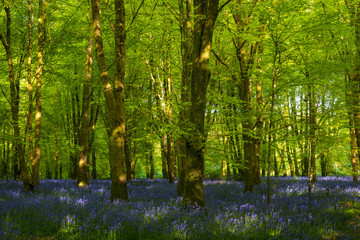 Sunlight illuminating woods with a carpet of bluebells