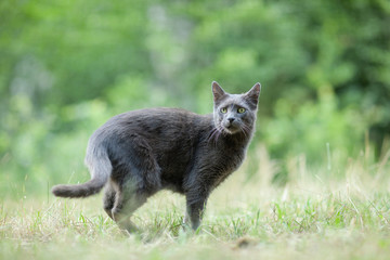 Cute adult grey cat with beautiful green eyes in a green meadow, being aware of something, outdoors in green environment