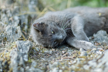 cute adult grey cat with beautiful green eyes lying on a rock, outdoors in green environment, relaxing, purring