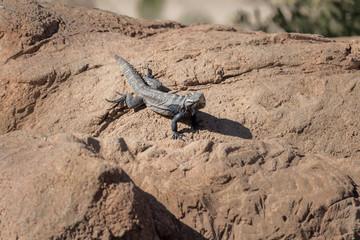 lizard on rock in desert