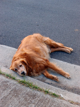 Golden Retriever dog in lays side on road next to sidewalk
