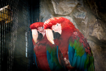 Multicolored Ara parrots sit on a branch in a cage in a zoo with an evil expression