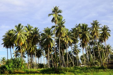 Beautiful coconut palm trees farm in Pantai Tok Bali in Bachok, Kelantan