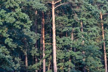 background. pine grove.