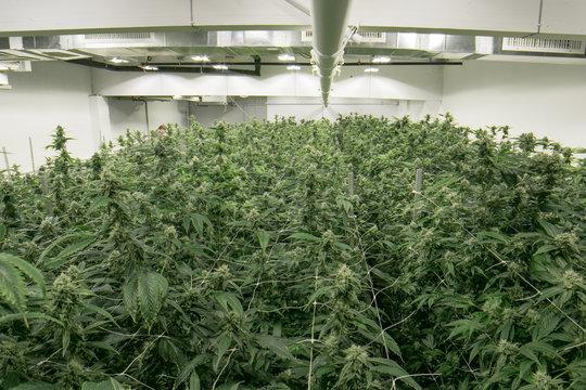 Indoor Cannabis Marijuana Grow Room California