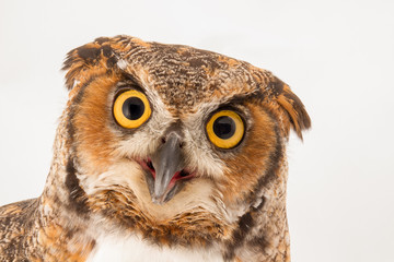 A surprised looking owl peering into the camera