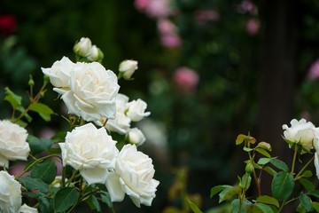 Foto auf Acrylglas Roses Beautiful white roses on a rainy day 雨の日の美しく白いバラ