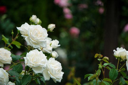 Beautiful white roses on a rainy day   雨の日の美しく白いバラ