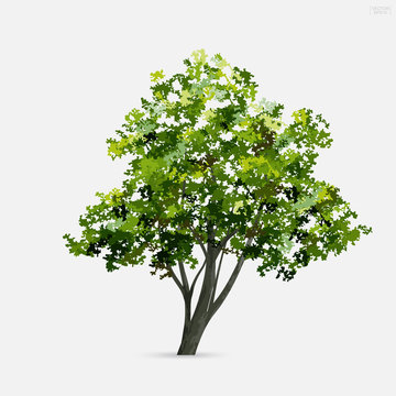 Tree isolated on white background with soft shadow. Use for landscape design, architectural decorative. Park and outdoor object idea for natural articles both on print and website. Vector.