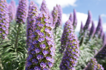 Tall budding Purple Flowers - California