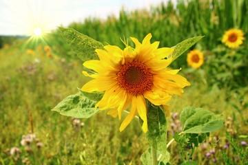 Fotoväggar - lebensraum für  inseckten am maisfeld