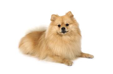 Cute Pomeranian dog on a white background