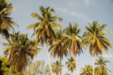 Coconut Palm trees against blue sky at tropical coast, vintage toned and stylized