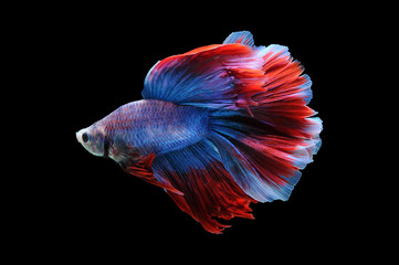 Betta fish, siamese fighting fish, betta splendens isolated on black background,