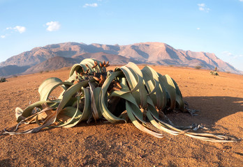 Blooming Welwitschia mirabilis in the desert of central Namibia