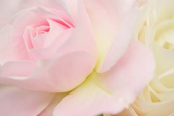 ピンク色のバラ