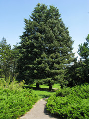 A path between coniferous bushes and several fir trees with green-blue needles