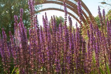 Lavender nature purple picture
