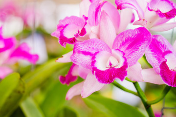 Colorful pink orchid flower (Cattleya) pattern.selective focus with blur abstract background.