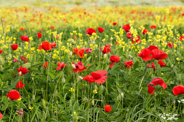 Poppy field red and yellow