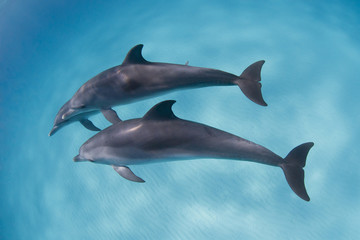 Bottlenose dolphins playing around in clear blue water