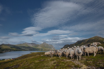 Sheeps with view from hill to the lake with view to mountains in the Norway at summer time