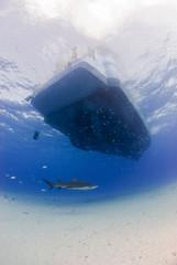 Lemon shark underneath diving boat in clear blue water