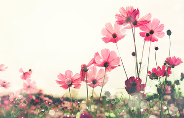 Wall Mural - Cosmos flower with bokeh at sunrise morning.