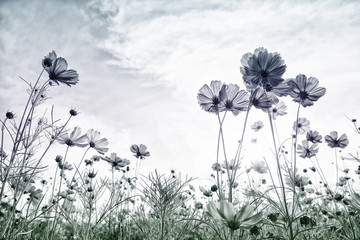 Wall Mural - Cosmos flower on pastel tone color style for background.